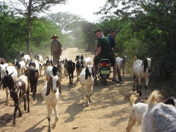 goat traffic jam